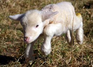 Little Lamb (Wiki)